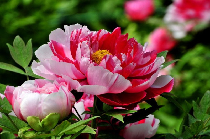Peony in Blossom